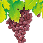 Grape Herb