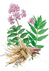 Valerian Is A Powerful, Natural Sedative